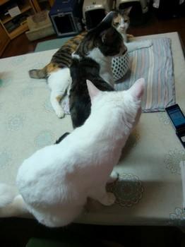 スイカを含む猫直列.jpg